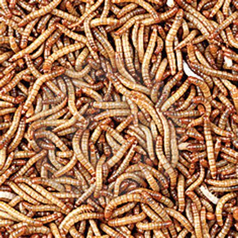 buy 1000 bulk count mealworms for your hungry lizard