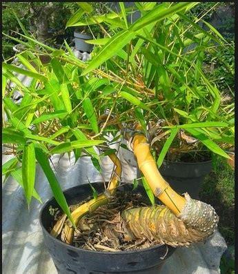 Jual Bibit Tanaman Bambu Kuning cara mudah membuat bonsai bambu budidaya bonsai