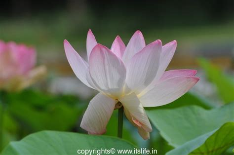 new year lotus flower happy new year 2015 itslife in
