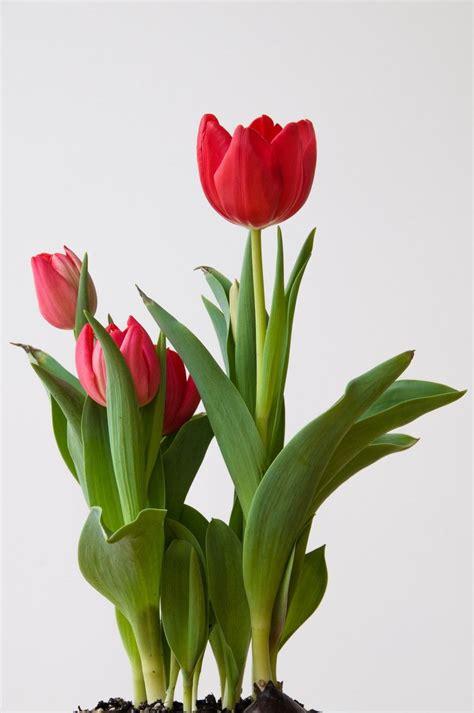 fiori di co primaverili tulips t tulips 튤립 꽃 사진 e 장미