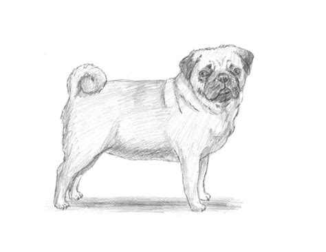how to draw a pug puppy home www how2drawanimals