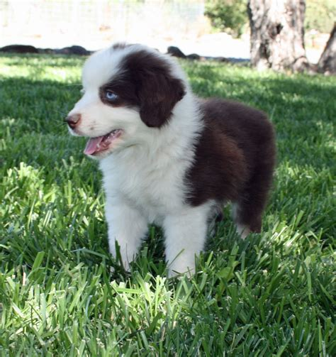 mini aussie puppies oregon mini aussie puppies adoption breeds picture