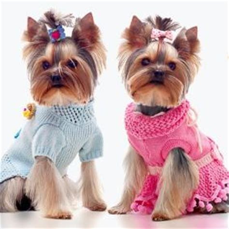 yorkie puppies houston teacup yorkie puppies for sale in houston parti