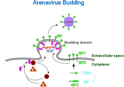 z protein lassa virus the de la torre lab