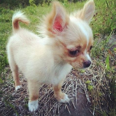 long hair chihuahua hair growth what to expect chihuahua puppies long pictures to pin on pinterest