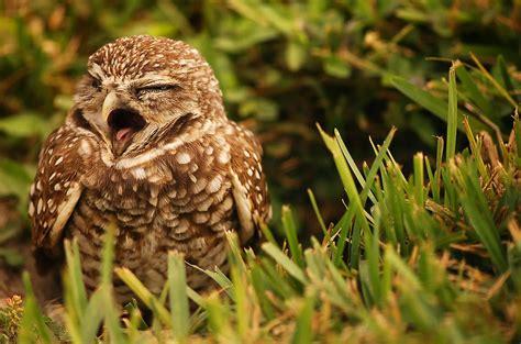 Sleepy Owl sleepy owl by mandy wiltse