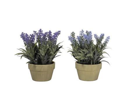pianta lavanda in vaso lavender pianta in vaso lavanda prodotti gradevoli per