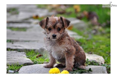yorkies for sale in lancaster pa yorkie poo puppies for sale in lancaster pa
