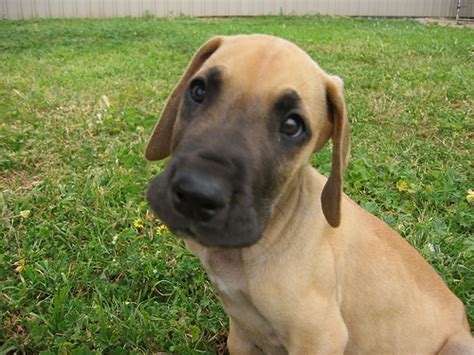 fawn great dane puppies danes of a different color photos of recognized and non recognized great dane