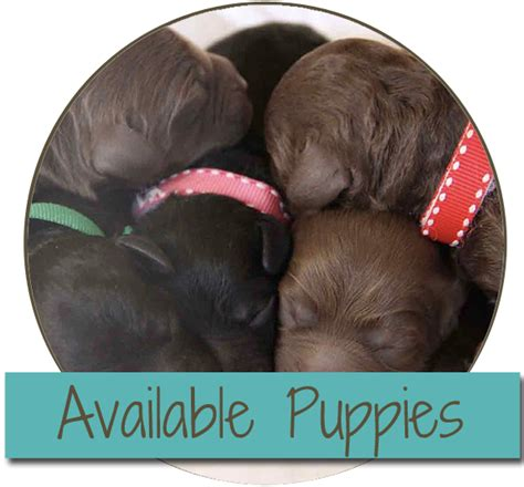 where can i find free puppies near me hill australian labradoodles australian labradoodle puppies near me