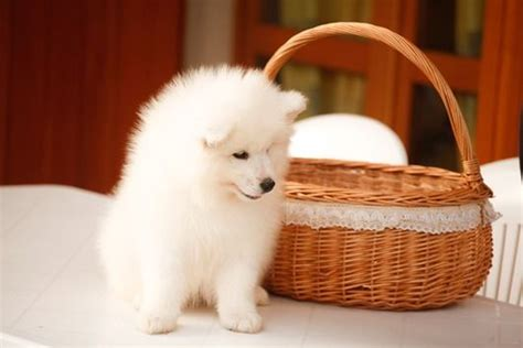 samoyed puppies michigan purebred samoyed puppies for sale in michigan a looking for his