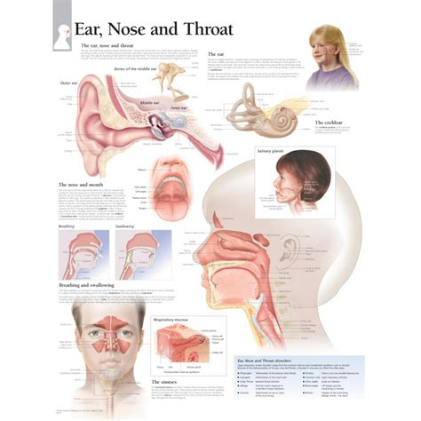 ear nose throat diagram of sinuses and ear anatomy organ