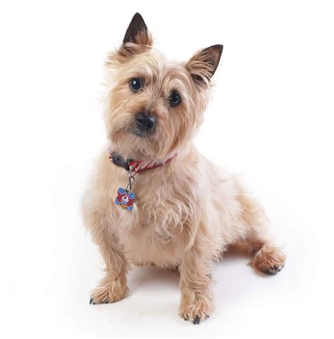 Clipping And Grooming Your Terrier cairn terrier grooming cut hairstylegalleries