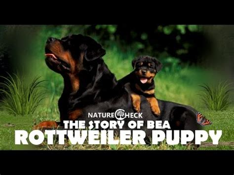 rottweiler stories amazing rottweiler puppies cutest compilation puppy impresspages lt
