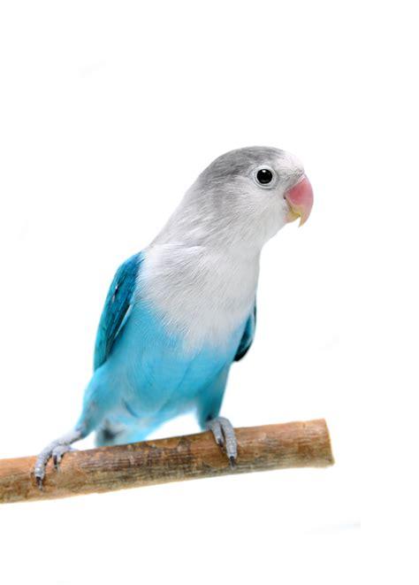 For Lovebird loveyourparrot lovebirds