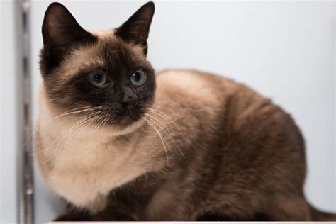 friendly breeds friendly cat breeds www pixshark images galleries with a bite