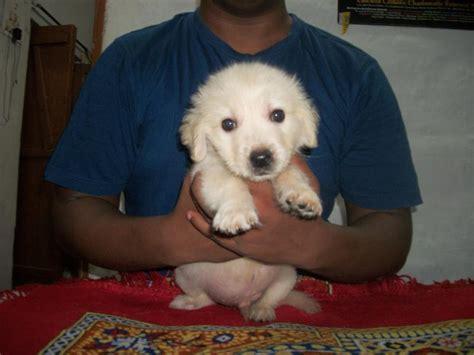 golden retriever puppies in kolkata golden retriever puppy for sale kolkata photo