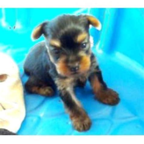 oregon yorkie rescue terrier yorkie breeders in oregon freedoglistings