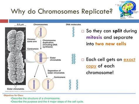 each human chromosome is replicated in about sections ppt bio 9b wednesday 2 9 11 title the cell cycle