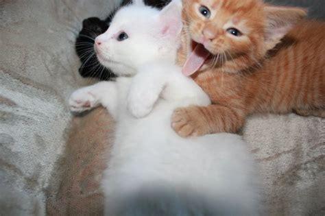 britse korthaar kittens voor katten dieren britse korthaar kittens voor katten dieren