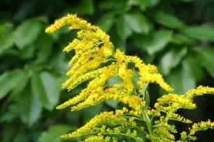 goldenrod nebraska state flower travel nebraska usa