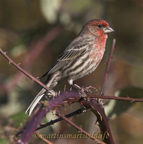 common house finch common house finch 28 images common house finch by