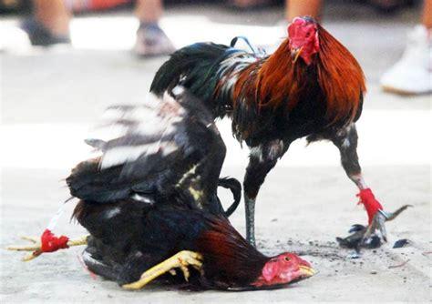 Kalsium Ayam Petarung khasiat belimbing wuluh bagi ayam bangkok petarung
