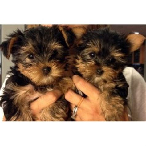 yorkie breeders in las vegas yorkie breeds usa terrier breeder in las vegas nevada