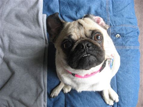 grown pugs grown pug image search results
