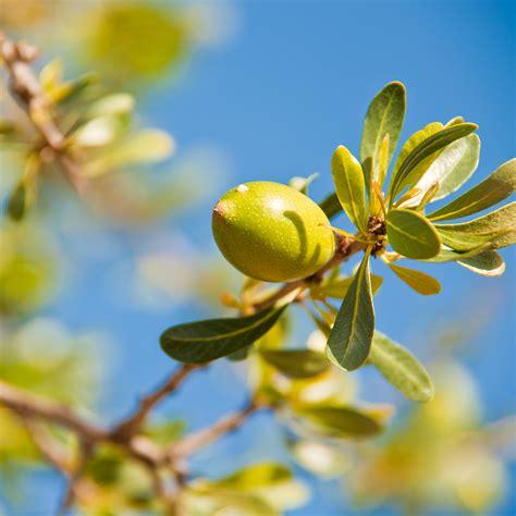 argan tree fruit argan liquid gold personal image consultant