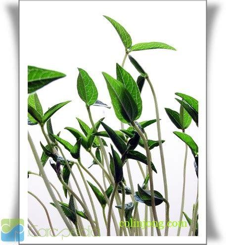 membuat bubur kacang hijau dalam bahasa inggris tumbuhan kacang hijau ulti media pro