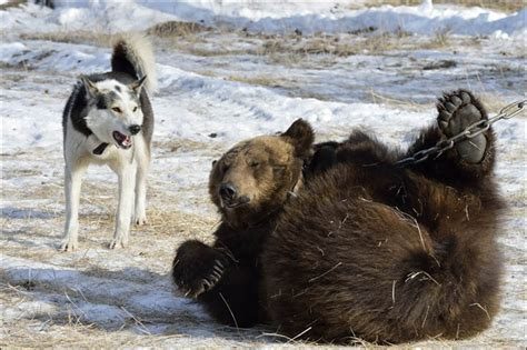 dogs used to hunt bears dogs used to hunt bears the best of 2018