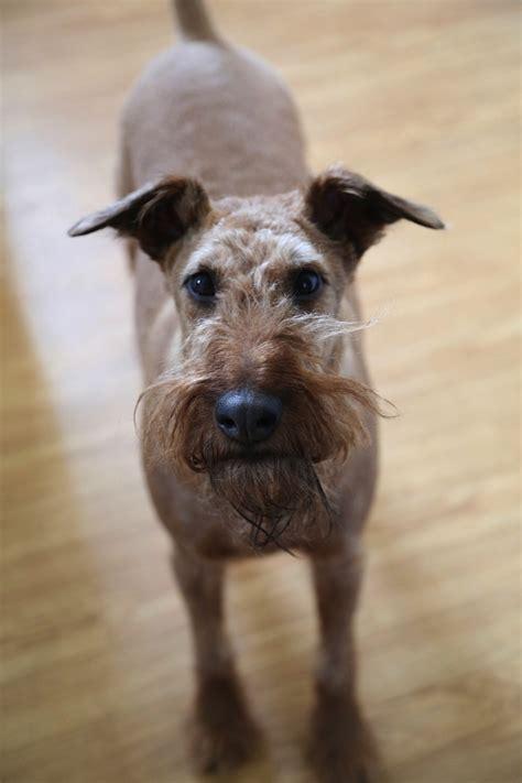 new york adoption shamrock in new york terrier rescue network
