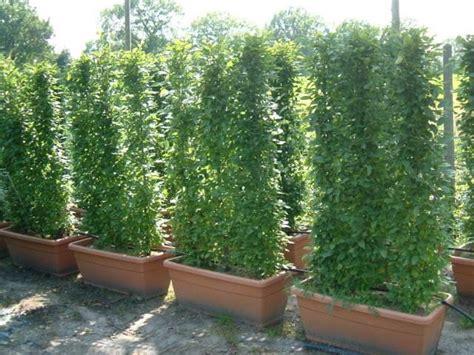 baum für garten schmaler sichtschutz pflanzen die neueste innovation der