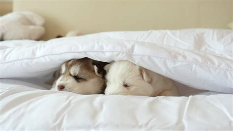 puppy sleeping in bed two siberian husky puppies sleeping on white bed under