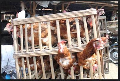 jual ayam afkir supplier hewan ternak surabaya