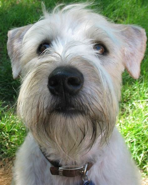 wheaten terrier cuts 17 best images about jc grooming wheaten terrier