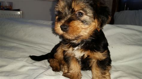 yorkie dogs for sale uk 5 terriers for sale birmingham west midlands pets4homes