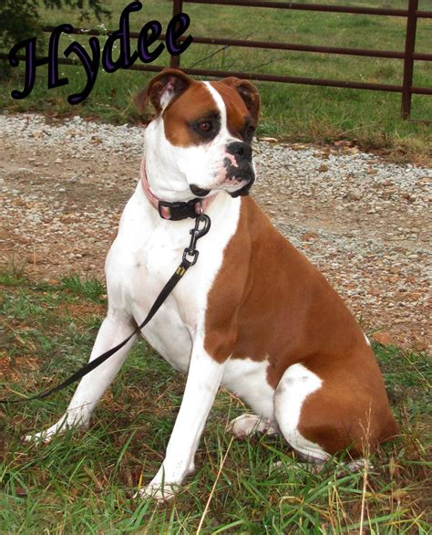 boxer puppies for sale missouri hyde seek boxers boxer breeder missouri