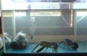 Pakan Udang Di Aquarium 7 cara budidaya udang air tawar di aquarium yang pasti