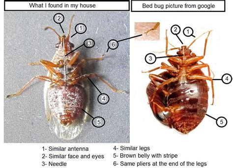 bed bug wings bed bug with wings a plant feeding hemiptera 171 got