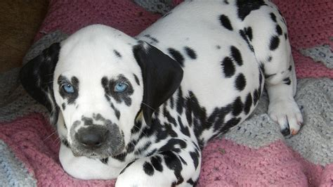 baby dalmatian puppies dalmatian puppies that will melt your