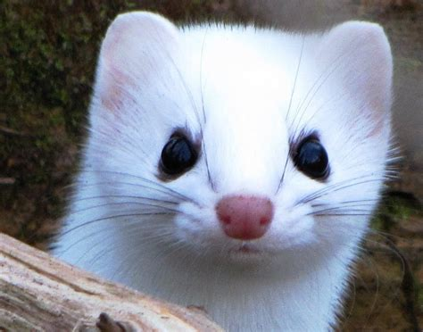 weasel attacks ermine winter color phase