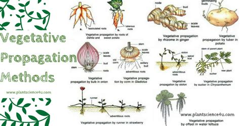 vegetative propagation by roots what is vegetative propagation advantages and
