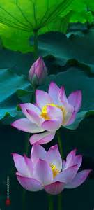 Lotus Flower Colour Magical Of Lotus Flowers Flower Of God