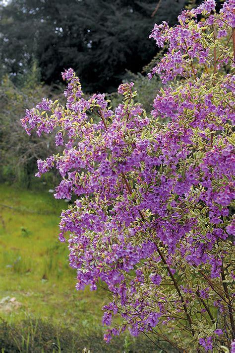 purple flowering shrubs australia pacific horticulture society australian shrubs