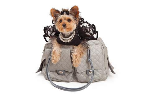 pampered dog  designer travel bag stock image image  holiday domestic