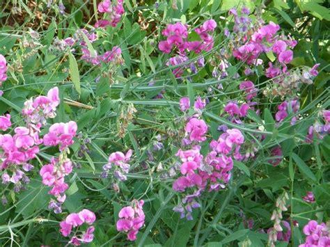 perennial pea vine invasive species council of british columbia iscbc plants animals