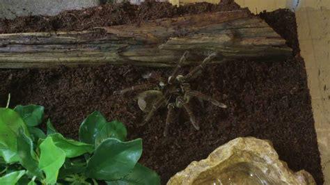 pet goliath bird eating tarantulas  cage   putting    youtube