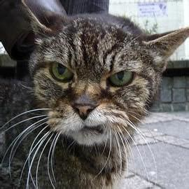 Angry Cat Meme Generator - angry cat blank template imgflip